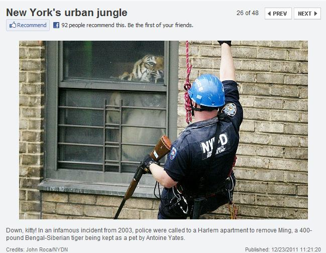 It S Kind Of Old From 2003 The Story Ming A 400 Pound 2 Year Tiger Kept As Pet In 5th Floor Apartment Harlem
