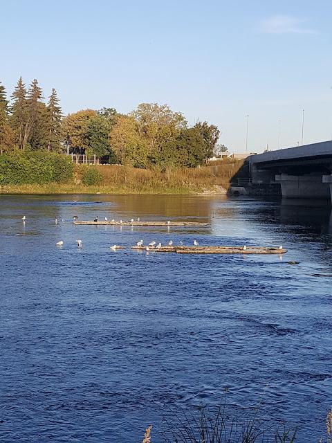 Gulls and Ducks seen on Urban Pathway along Refreshing River
