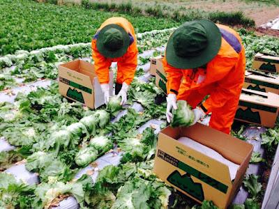 Nông nghiệp Nhật Bản thiếu hụt lao động trầm trọng
