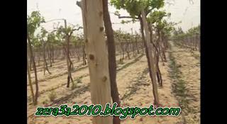 فيديو - تسميد العنب
