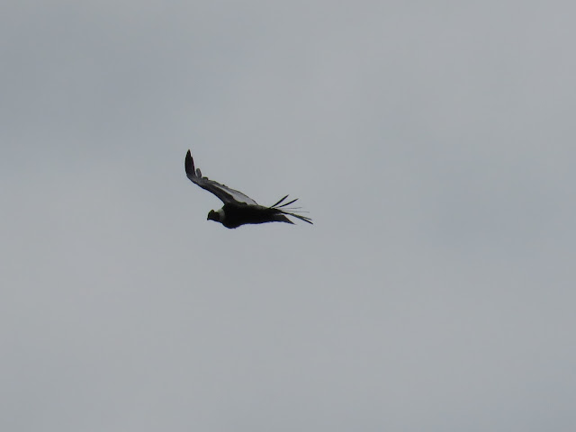 2 weeks in Patagonia: Soaring condor at Lago Sofia near Puerto Natales Chile