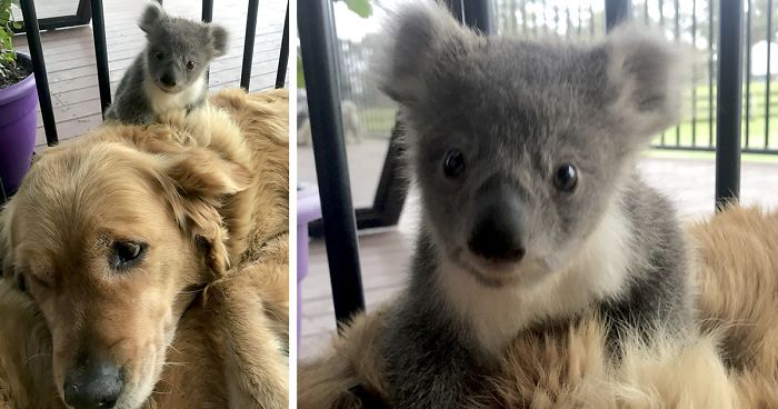 Golden Retriever Surprised Her Owner When She Rescued A Baby Koala