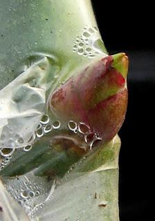 発芽するバラの芽