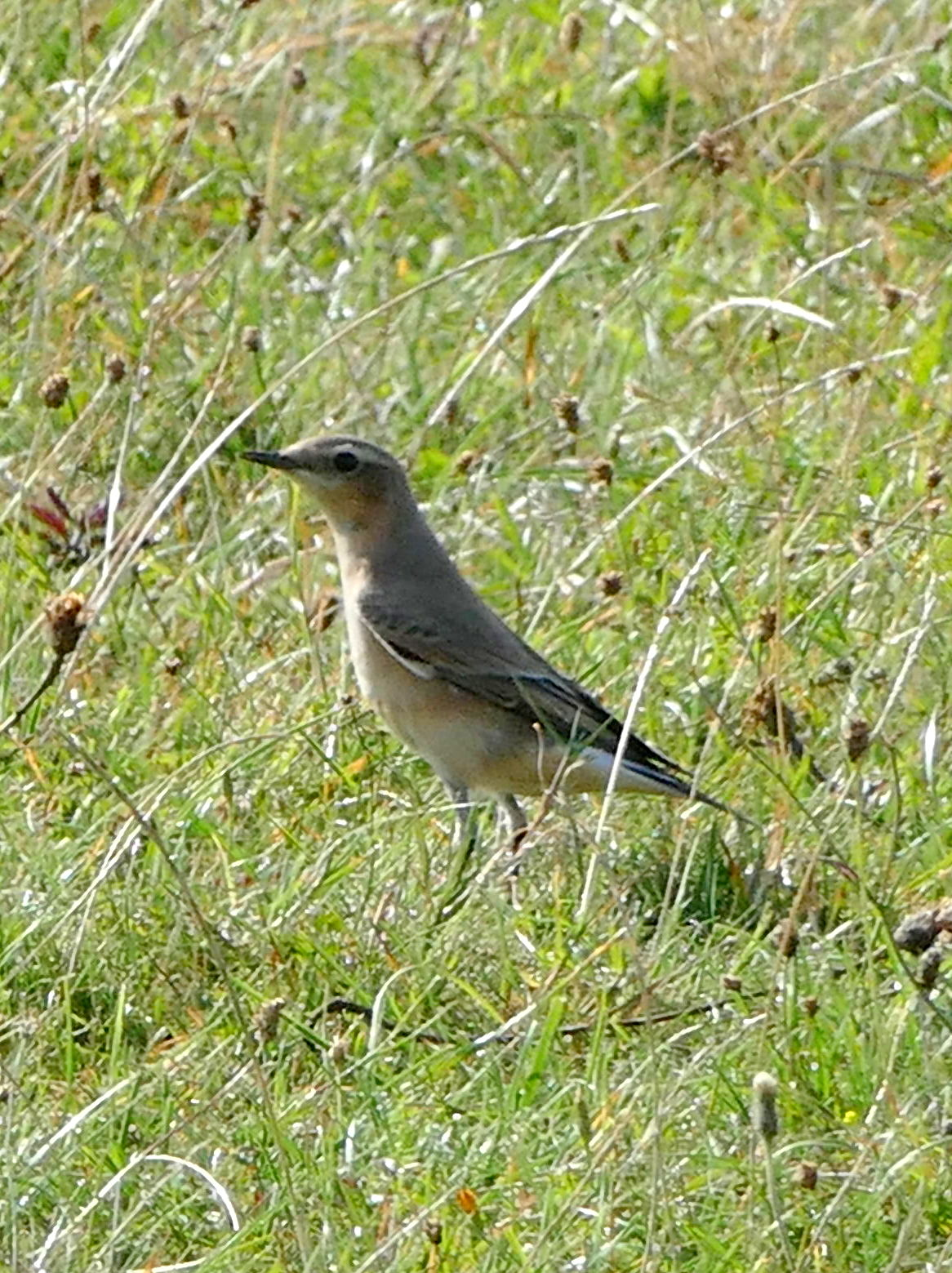 Wheatear migrating via the South Downs of Sussex, UK from the Arctic to Africa