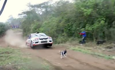 El perro que se salva de milagro durante un rally | Vídeo