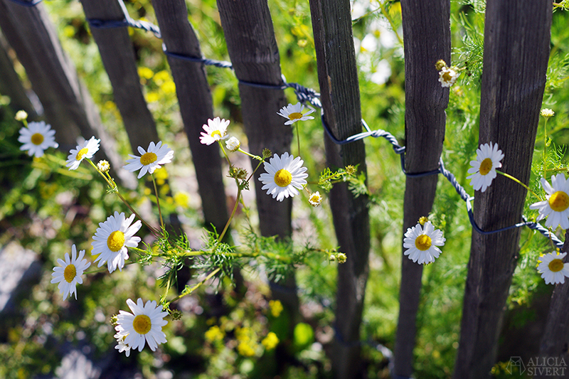 aliciasivert alicia sivert alicia sivertsson djurgården stockholm utflykt utflyktsmål rosendals trädgård blommor staket av pinnar