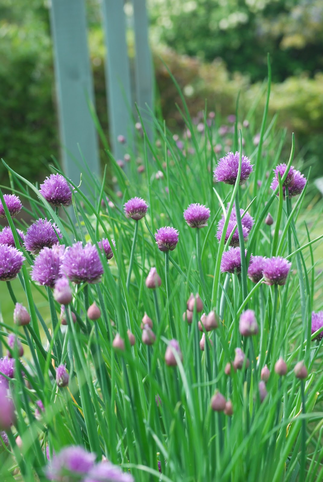 Clare Matthews' Garden Blog: Free Chive Edging Is Looking