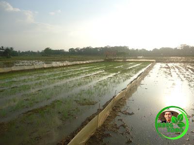 """""""Pawinian"""" tempat penyemaian benih. Yang di semai ini adalah benih padi ketan"""