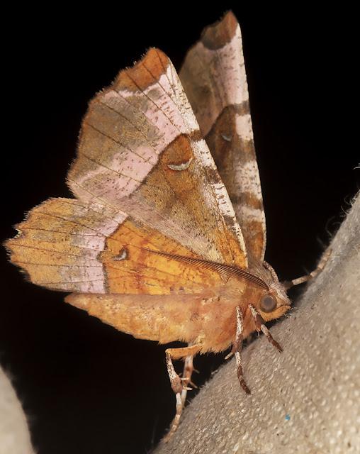 Purple Thorn, Selenia tetralunaria.  Luxford Lane, Crowborough, 20 July 2017.