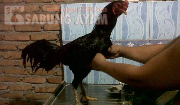 Cara Melatih Ayam Lancuran Tarkam 1 Minggu Sebelum Turun Kalangan