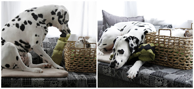 Dalmatian dog trying to get cat in a basket to play with him