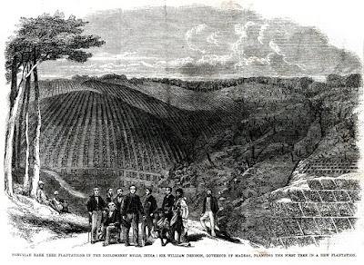 dibujo cultivo de quina en india