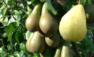 pear fruit; pear