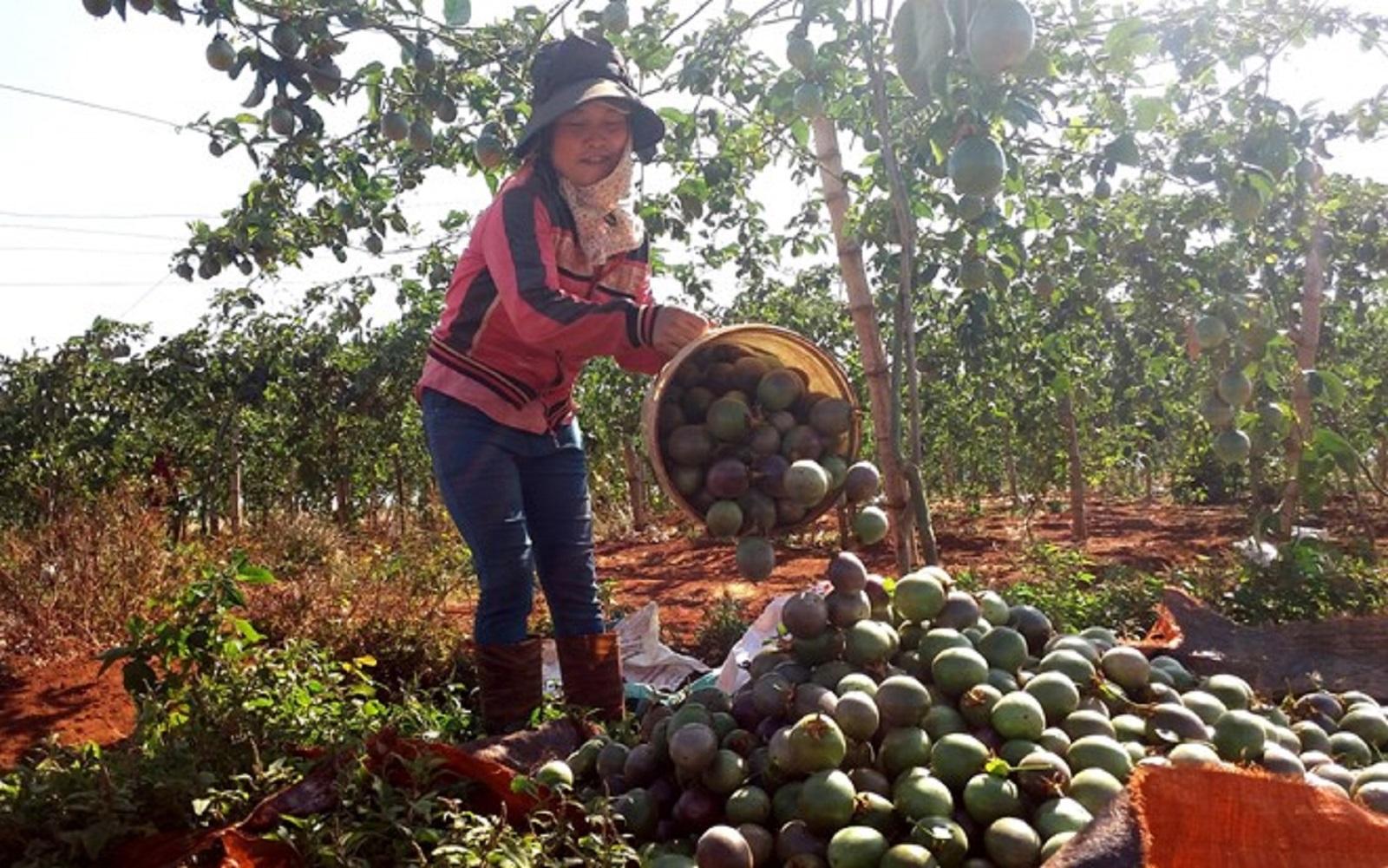 Gia Lai: Chanh dây rớt giá, người dân vẫn trồng ào ạt
