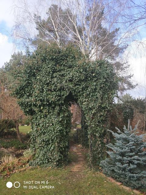 pnącza w ogrodzie, zimozielone pnącza