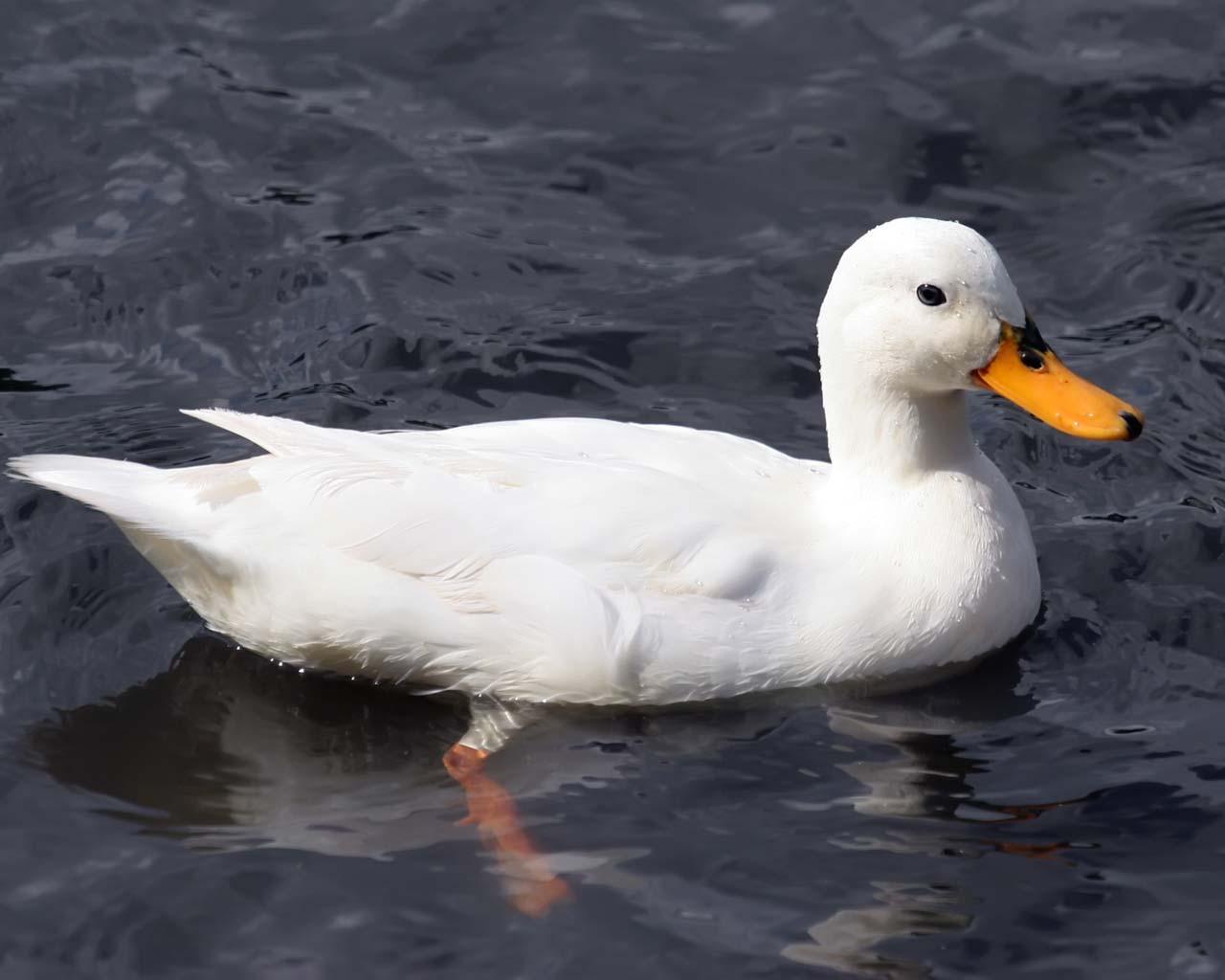 x ducks