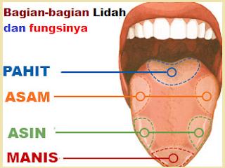 bagian bagian lidah beserta fungsinya fungsi bagian bagian lidah bagian dan fungsi lidah gambar bagian bagian lidah bagian lidah manusia dan fungsinya gambar bagian lidah dan fungsinya