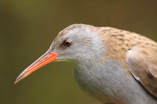 Indian birds - Western water rail - Rallus aquaticus - portrait