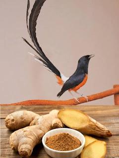 Khasiat Jahe Untuk Burung Kicauan