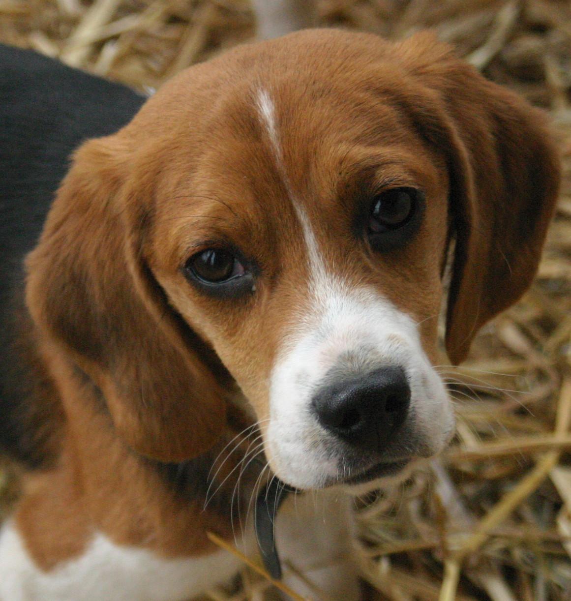 beagle dog cute dogs