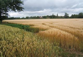 ¿Cómo reconocer los campos de cereales? (Desde lejos)