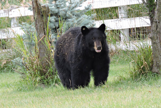 A bear stopped by the Double Ditch Ranch for plums today