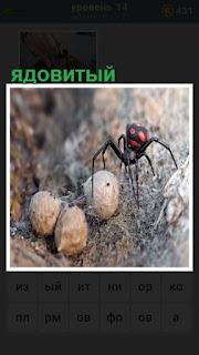 ядовитый паук охраняет свои яйца и находится с ними рядом