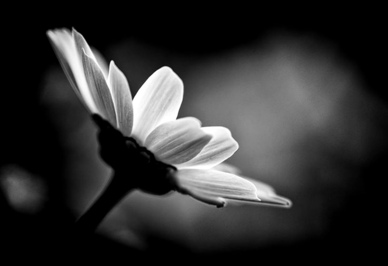 Flowers Black And White With Color Wallpaper Free Hd Net