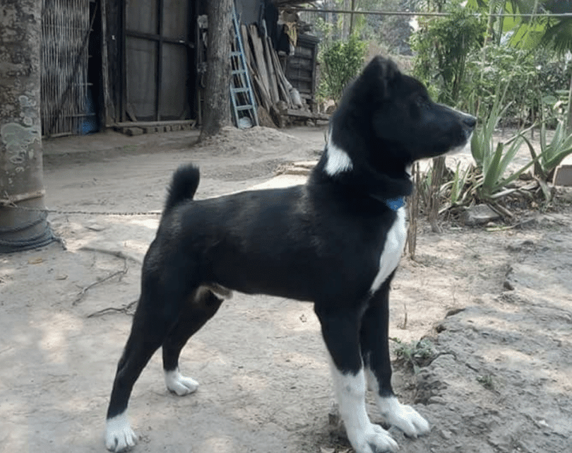 Tangkhul Hui Hunting Dog Breed Guide Manipur Local Dog