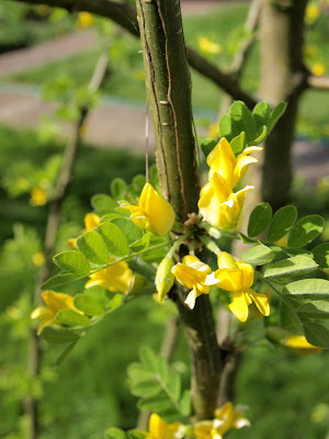 An image of the flowers of the Siberian pea tree (Caragana arborescens)