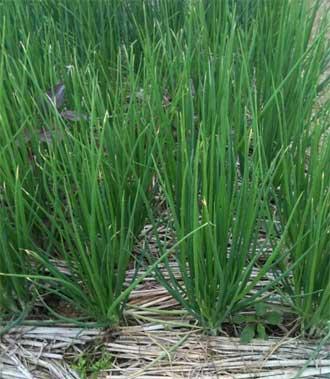 Cây HẸ - Allium odorum - Nguyên liệu làm thuốc Chữa Ho Hen