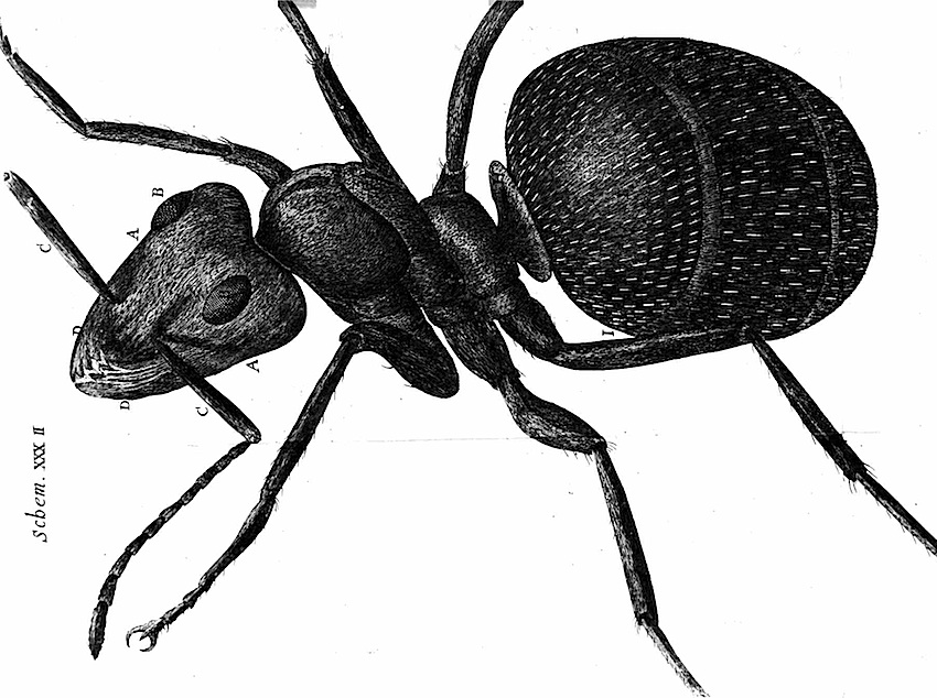 A drawing of an ant from a 1665 microscope