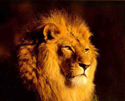 Animal Wallpaper Lions Animal Lion Wallpapers My Style