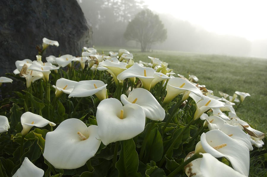 How To Grow The Arum Lily From Seed