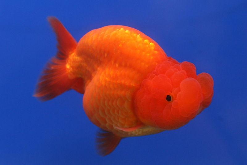 Jendela Hewan: Merawat dan Membudidayakan Ikan Mas Koki