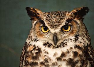hewan terpintar dan tercerdas di dunia - burung hantu