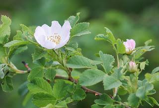 hoa hồng rừng , hoa hồng leo dại tầm xuân
