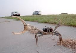 Land crabs wreaking havoc