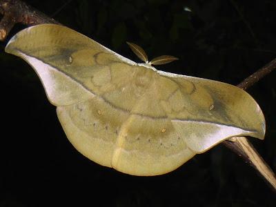 Copaxa rufinans male