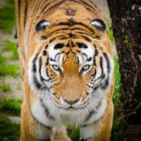 animal bark big cat