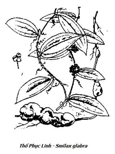 Hình vẽ Thổ Phục Linh - Smilax glabra - Nguyên liệu làm thuốc Chữa Tê Thấp và Đau Nhức