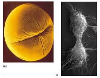 sitokinesis, pembelahan sitoplasma, sitokinesis pada sel hewan,