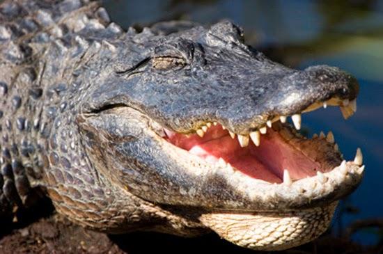 Crocodilo Sorrindo