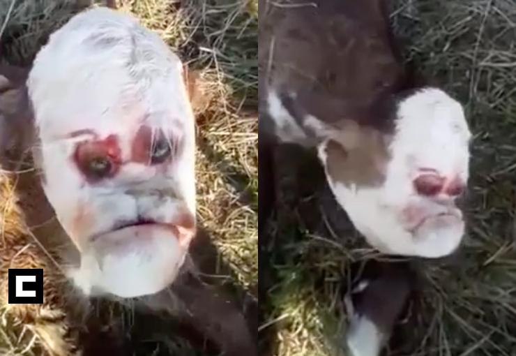ternero rostro humano
