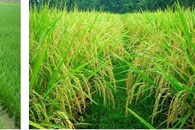 Mengenal macam-macam pola tanam dalam bercocok tanam padi