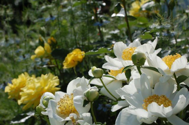 Rose garden peony 'Jan van Leeuwen'