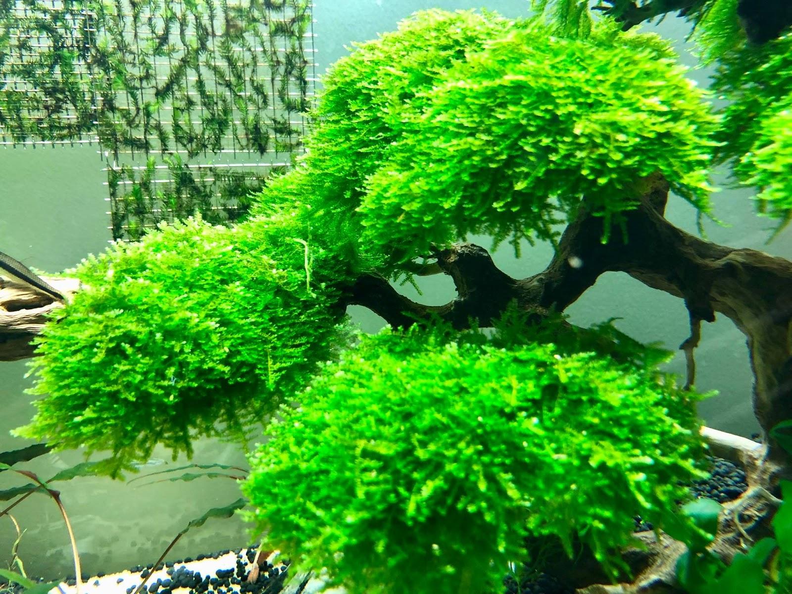 Cận cảnh rêu mini taiwan tuyệt đẹp trong hồ thủy sinh của bạn Bình Bình