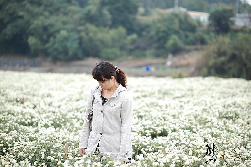[苗栗銅鑼花季] 九湖杭菊花季 |九湖農場休息站