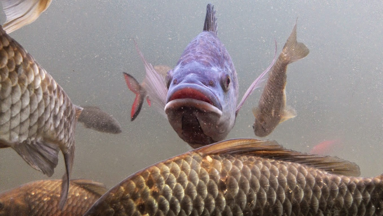 甲蟲森林: 宜蘭河的鯽魚夢