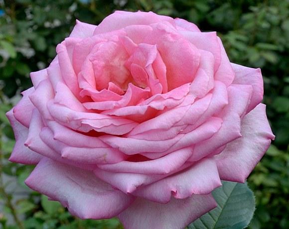 Wedding Bells сорт розы Кордес фото купить саженцы Минск